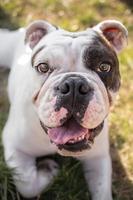 jovem bulldog inglês fechar retrato