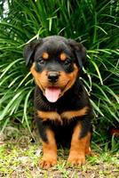 filhote de rottweiler com uma bela aparência no quintal foto