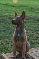 filhote de cachorro belgian malinois. cachorrinho na grama foto