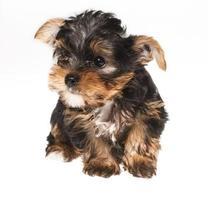 cachorro yorkshire terrier no fundo branco
