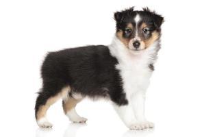 cachorro sheltie em fundo branco foto