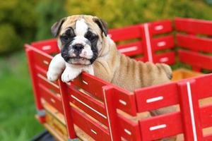 cachorro bulldog inglês em pé e andando na carroça