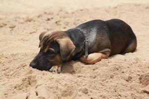 cão da tailândia foto