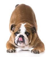 cão curvando-se