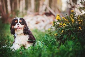 jovem cavalier king charles spaniel cachorro no jardim de verão