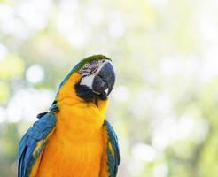 incrível arara azul e amarela (arara) foto