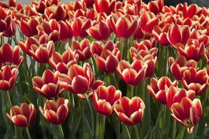 tulipas vermelhas em jardim perto de amsterdã