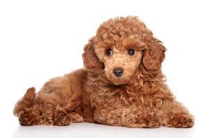 cachorro poodle vermelho foto