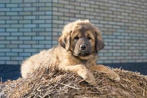 cachorro raça mastim tibetano foto