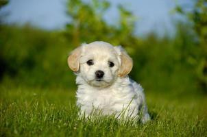 cachorrinho bichon havanais
