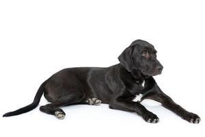grande cachorro preto de laboratório foto