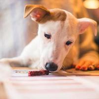 cachorro cachorro russell terrier foto