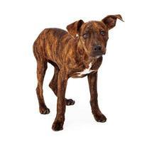 cachorro tigrado de raça mista em pé
