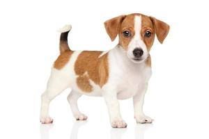 cachorro jack russell em fundo branco foto