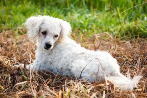 cão poodle velho deitado na grama seca e verde