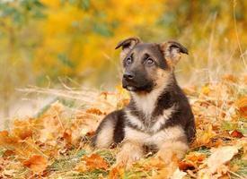 Pequeno cachorro pastor alemão foto