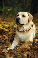 labrador retriever posando. outono e folhas de fundo foto
