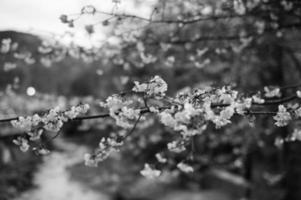 flor de cerejeira na primavera de Tóquio