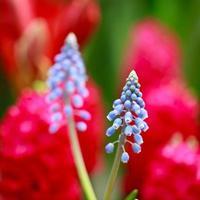 flores de jacinto de uva foto