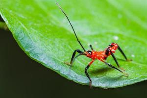 ninfa do inseto assassino vermelho foto