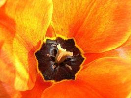 close-up de tulipa amarelo-laranja