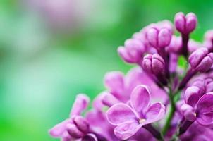 fundo de flores lilás