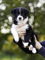Cachorrinho de 5 semanas foto
