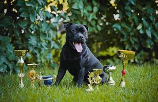 cão orgulhoso stafford terrier com medalhas foto