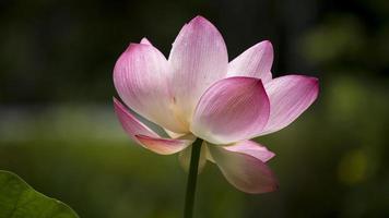 lotus 04 foto