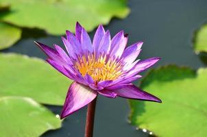 lótus bonita na lagoa foto
