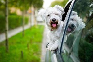 cachorro maltês olhando pela janela do carro