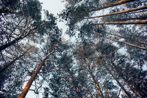 céu através de pinheiros
