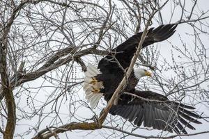 águia preta e branca voando sobre árvore