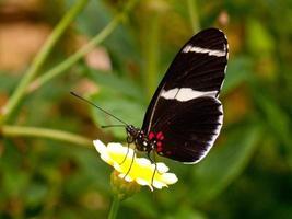 borboletas em flores foto