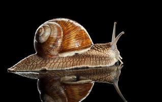 vista lateral de caracol rastejante foto