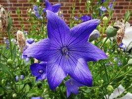 linda flor de platycodon