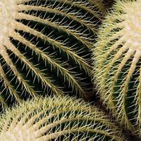 echinocactus grusonii foto