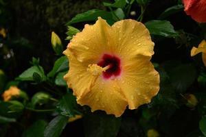 linda flor de hibisco amarelo foto