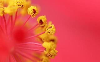 grãos de pólen de flor de sapato foto