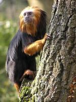 mico-leão foto