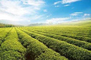 jardim de chá verde na colina