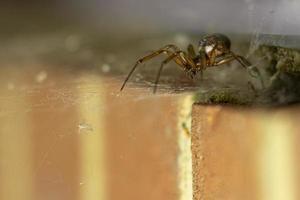 falsa viúva aranha foto