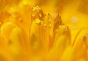 flor de dianthus, macro