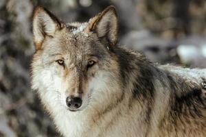 close-up de um lobo na natureza