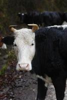 vaca preta e branca