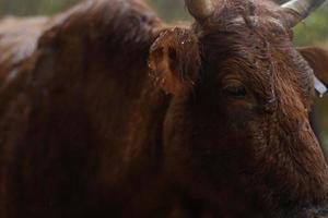 uma vaca marrom em um dia chuvoso