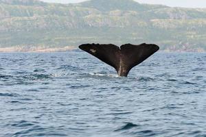 cauda de um cachalote mergulhador foto
