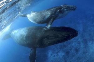baleia jubarte / mã © gaptã © ra novaengliae