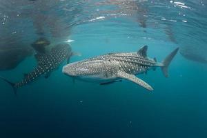 tubarão-baleia muito perto de olhar para você debaixo d'água em papua