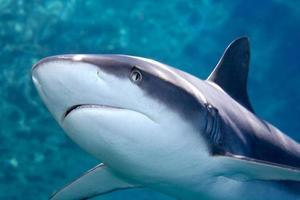 tubarão baleeiro cinza